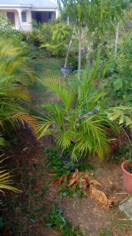 Acreaca Palm