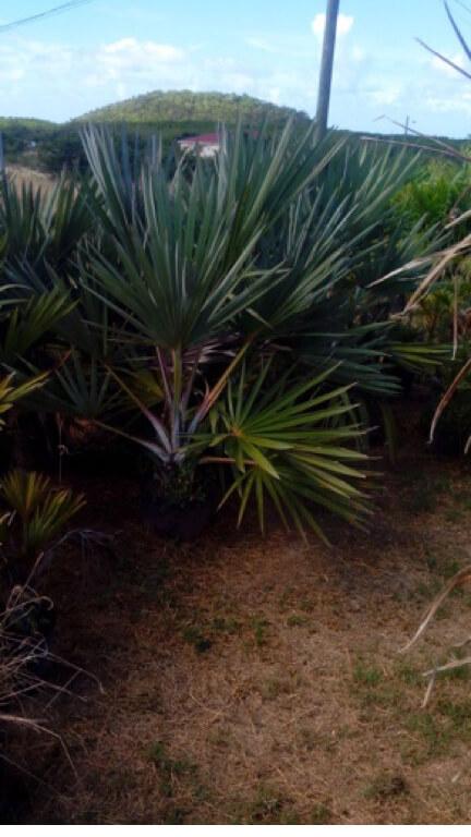 Latang Palm
